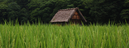 Rýžové pole Foto: Andy Wagstaffe Wikimedia Commons