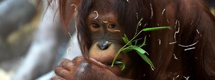 Samice orangutana Foto: Matěj Kynšt Zoo Ústí nad Labem
