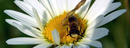 Samotářská včela z rodu hedvábnice Foto: Calla – Sdružení pro záchranu prostředí