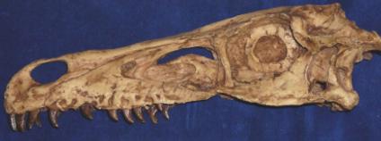 Velociraptor mongoliensis. Foto: Lars Schmitz/ Science/AAAS