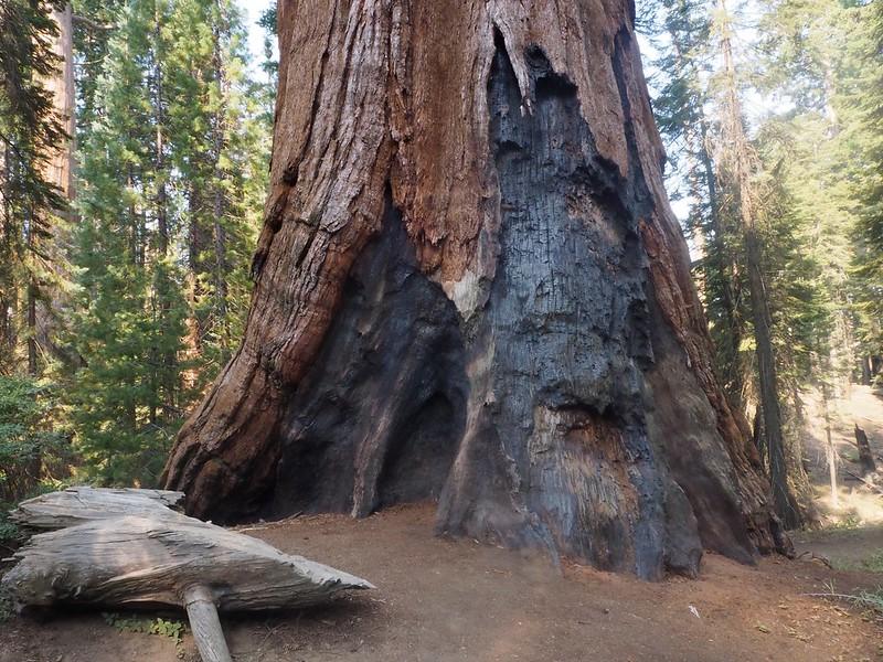 V Kalifornii objevili sekvojovec stále ještě doutnající po požáru z loňského roku
