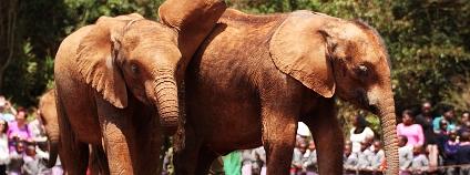 Sirotčinec nadace David Sheldrick Wildlife Trust leží na okraji Nairobi kousek za hranicí Nairobského národního parku. Každý den v 11 hodin se sirotci předvádějí návštěvníkům, zatímco ošetřovatelé vypravují o činnosti nadace.