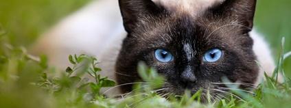 Siamská kočka Foto: Jeremy Segrott Flickr.com