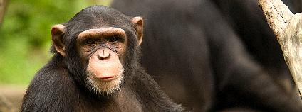 šimpanz Foto: Chi King Flickr