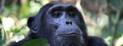 Šimpanz Foto: Robin Nieuwenkamp Shutterstock