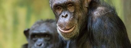 Šimpanzice ve dvorské zoo Foto: Facebook Safari Park Dvůr Králové