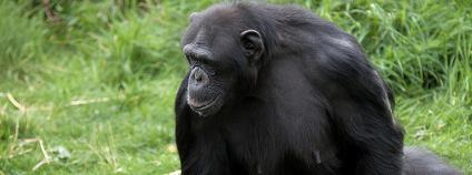Šimpanz stojící na zadních Foto: wwarby Flickr
