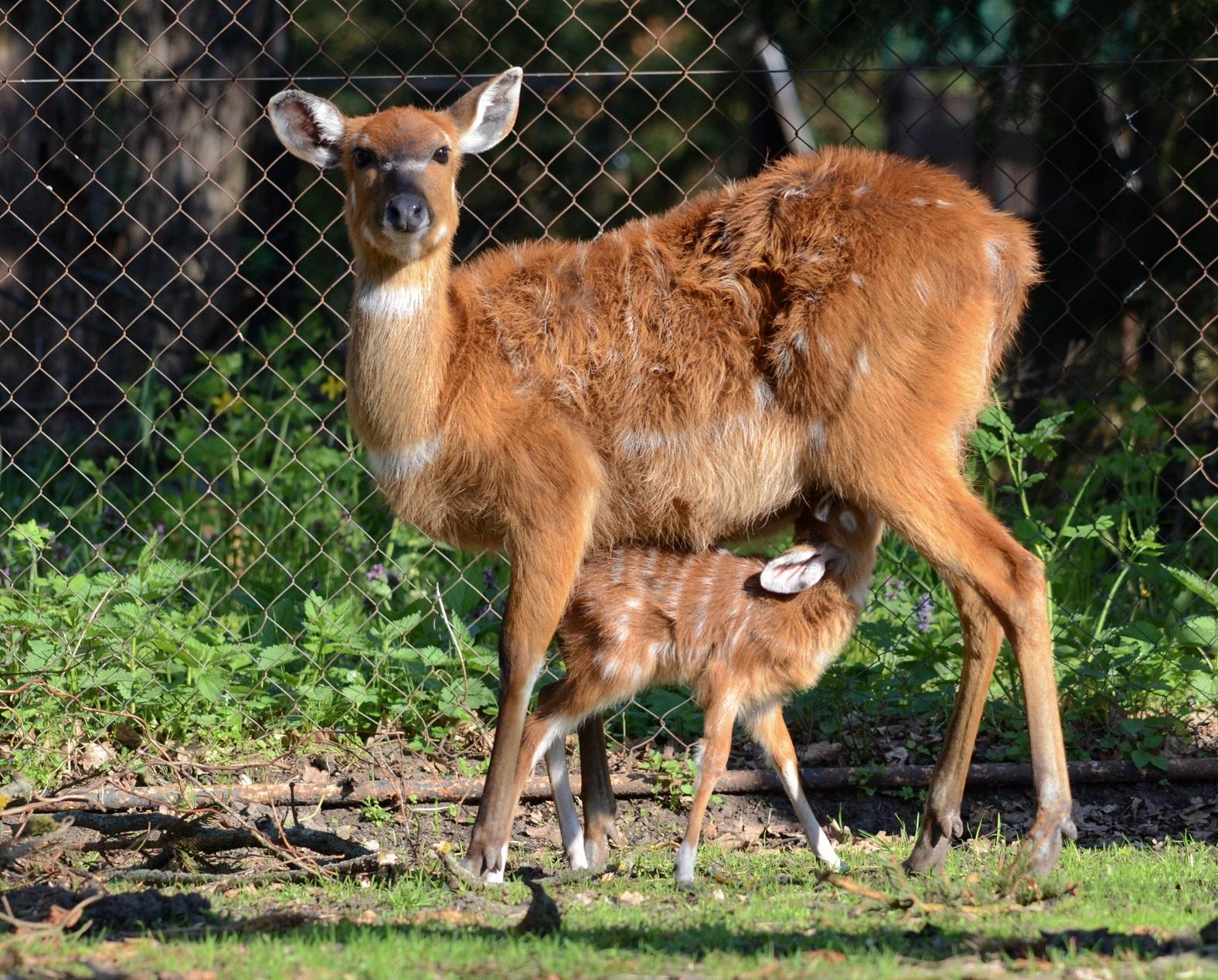 Návštěvníci hodonínské zoo se mohou těšit na mládě sitatungy západoafrické