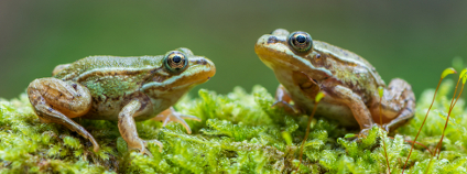 Skokan zelený Foto: Marek R. Swadzba / Shutterstock