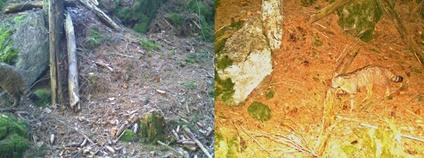 Kočka divoká zachycená fotopastí ve Slavkovském lese v roce 2020 a 2019 Foto: AOPK