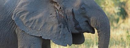 Slonice bez klů v mosambijském parku Gorongosa Foto: Oskar Karlin Flickr
