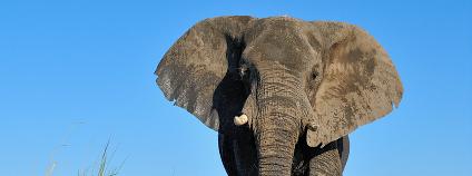 Sloni v Botswaně.