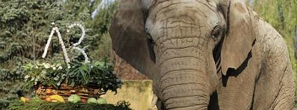 Slon africký Foto: ZOO Dvůr Králové