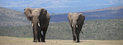 Sloni v Keni. Foto: kimvanderwaal Flickr.