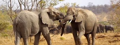 Sloni v Krugerově parku v JAR Foto: Adam Dimmick Flickr