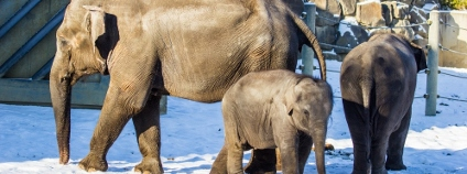 Sloni v ostravské zoo Foto: P. Vlček / Zoo Ostrava
