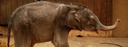 Sloní mládě Rashmi v ostravské zoo Zoo Ostrava