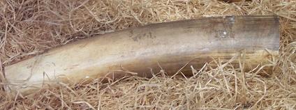 Slonovina Foto: Stahlkocher Wikimedia Commons