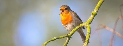 Zpívající pták Foto: EvgeniT pixabay.com