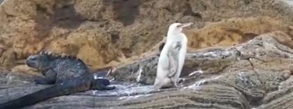 Bílý tučňák Foto: EL TELÉGRAFO / youtube.com