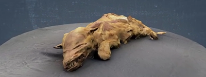 Mumie vlčete Foto: GeoBeats Science / youtube.com