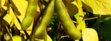 Sojové boby. Foto: H. Zell/Wikimedia Commons