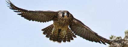Sokol stěhovavý Foto: Mike Baird Flickr