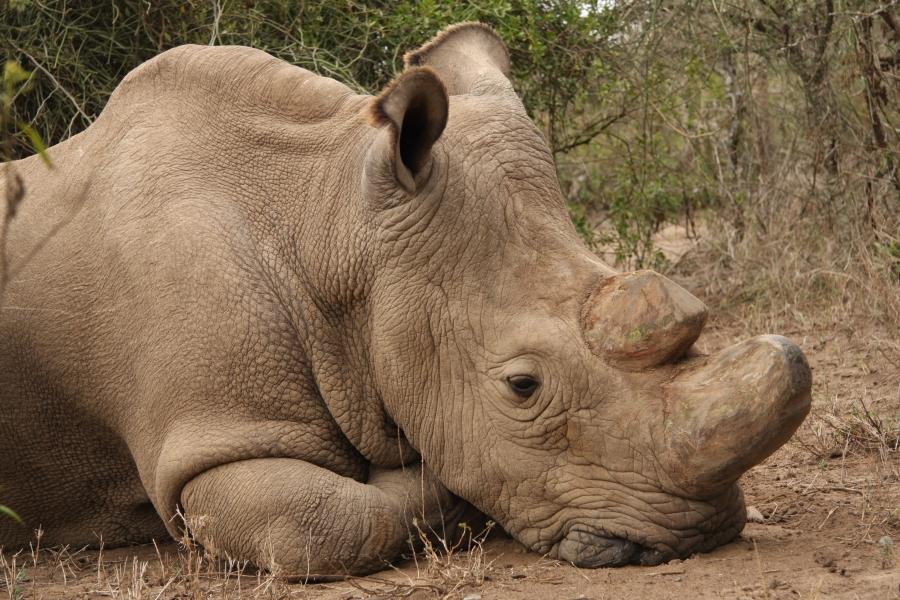 Nosorožec Súdán v době, kdy jej již velmi trápily zdravotní obtíže.
