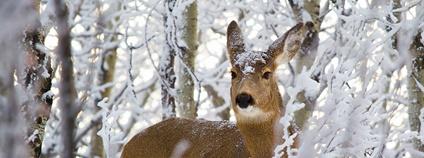 Srna v zimě Foto: Richard Carter Flickr