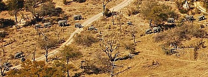 Stádo slonů v deltě Okavango v Botswaně Foto: youngrobv Flickr