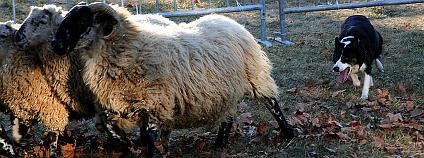 Stádo ovcí a ovčácký pes