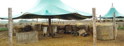 Přeštická černostrakatá prasata na Biofarmě Sasov Foto: Biofarma Sasov