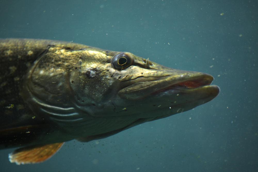 Rybáři mohou po půl roce lovit dravé ryby