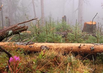 Šumavské lesy u Trojmezí