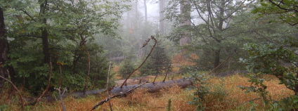 Trojmezenský prales v NP Šumava.