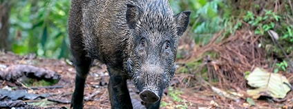 Sus scrofa v Malajsii Foto: David Cook Flickr