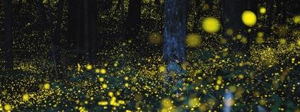 Světlušky v Japonsku Foto: Rodd Lucier Flickr.com