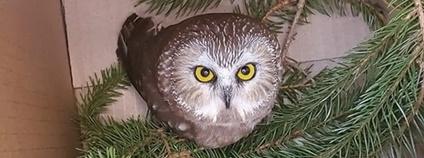 Sýc americký nalezený ve vánočním stromu Foto: Ravensbeard Wildlife Center