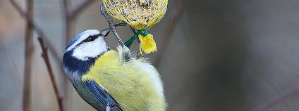 Sýkora modřinka na krmítku Foto: gynti_46 / Flickr