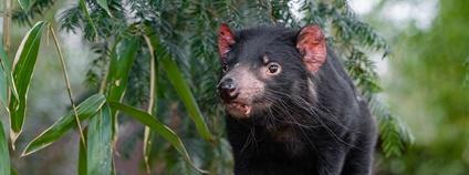 Ďábel medvědovitý, neboli Tasmánský čert, neboli Sarcophilus harrisii Foto: Mathias Appel Flickr.com
