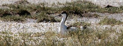 Tenkozobec opačný (Recurvirostra avosetta) na rybníku Nesyt Foto: František Pelc AOPK