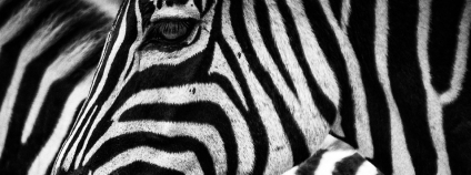 Zebra Foto: kowloon Pixabay