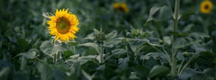 Pole slunečnic Foto: Thomas Quaritsch Unsplash