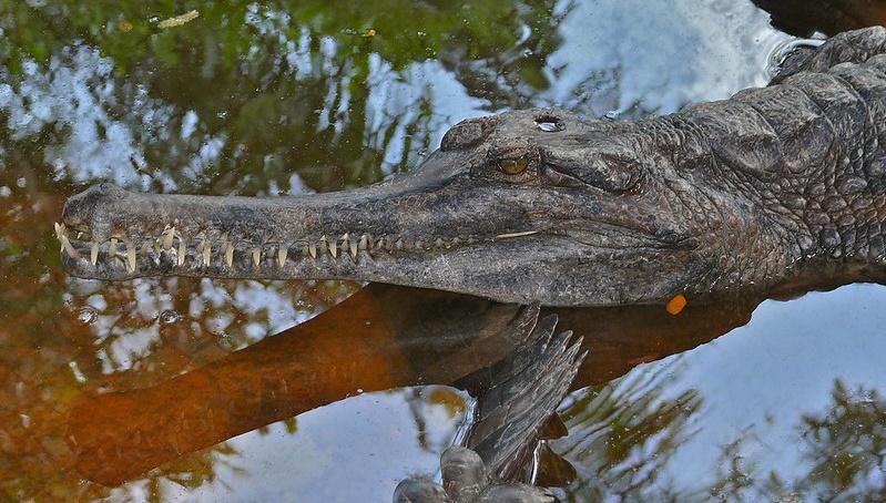 Dva vzácní krokodýli, Kraken a Penelopa, se budou stěhovat ze Dvora Králové do Polska