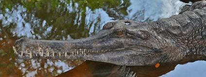 Tomistoma úzkohlavá, známá též jako gaviál sundský a krokodýl úzkohlavý (Tomistoma schlegelii) Foto: Bernard DUPONT Flickr.com