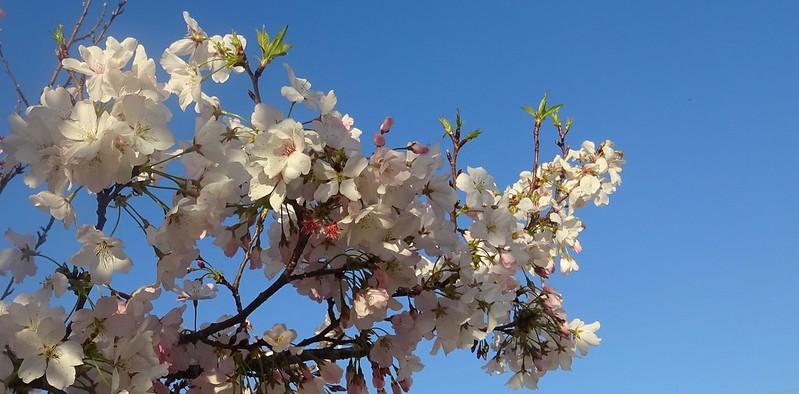 Ovocné stromy letos raší pomaleji, noční mrazy přesto poškodily sady na Znojemsku
