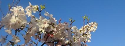 Kvetoucí třešeň Foto: Martin LaBar Flickr