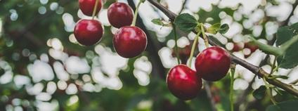 Třešně Foto:  Macu ic Unsplash