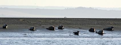 Tuleni v ústí Temže Foto: Flickr