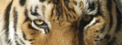 Tygr ussurijský Foto: Ltshears Wikimedia Commons
